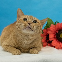 Domestic Shorthair Cat for adoption in Houston, Texas - Georgie