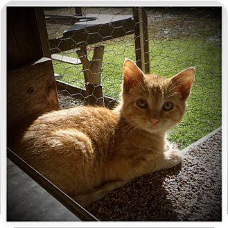 Domestic Shorthair Kitten for adoption in Medford, Wisconsin - MAGOO