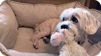 Havanese Mix Dog for adoption in Great Falls, Virginia - Rupert