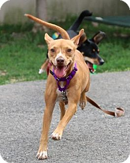 Chihuahua/Terrier (Unknown Type, Small) Mix Dog for adoption in Gloucester, Massachusetts - Gabby