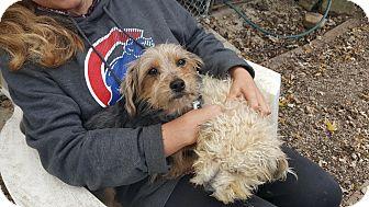 Silky Terrier Dog for adoption in Antioch, Illinois - Sam