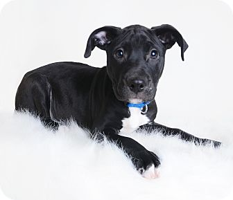 Labrador Retriever Mix Puppy for adoption in Wilmington, Delaware - Dasher