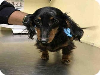 Dachshund Mix Dog for adoption in Ridgefield, Connecticut - Maggy f/k/a Dolly