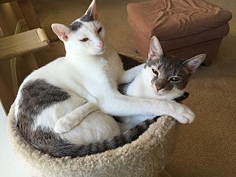 Adopt A Pet :: Dmitri  - Dallas, TX