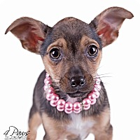 Terrier (Unknown Type, Small) Mix Puppy for adoption in Lodi, California - Sassy