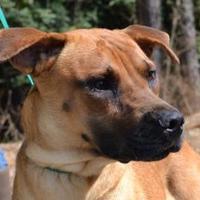 Retriever (Unknown Type) Mix Dog for adoption in Monticello, Georgia - Bella