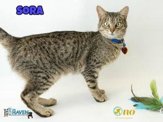 Domestic Shorthair/Domestic Shorthair Mix Cat for adoption in Fairhope, Alabama - Sora