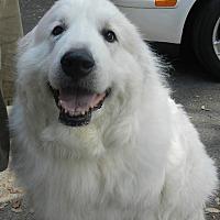 """Adopt A Pet :: COCOA """"CHANEL"""" - Granite Bay, CA"""