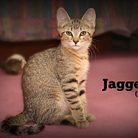 Domestic Shorthair Kitten for adoption in Glen Mills, Pennsylvania - Jagger