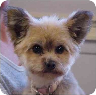Pomeranian Mix Dog for adoption in Spring Valley, California - Nick