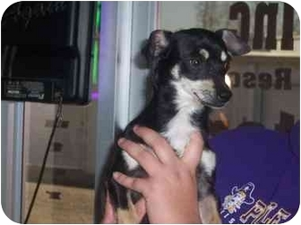 Chihuahua/Jack Russell Terrier Mix Dog for adoption in Bristow, Oklahoma - Oxi