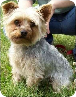 Yorkie, Yorkshire Terrier Dog for adoption in North Judson, Indiana - Webster