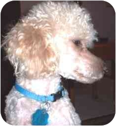Poodle (Toy or Tea Cup) Dog for adoption in Osseo, Minnesota - Peter
