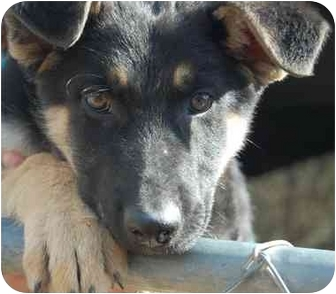 German Shepherd Dog Mix Puppy for adoption in Dripping Springs, Texas - Burton