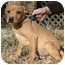 Photo 2 - Labrador Retriever Mix Puppy for adoption in Windham, New Hampshire - Rudy