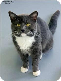 Domestic Shorthair Cat for adoption in St. James, Missouri - Tom