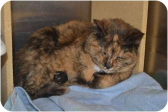 Domestic Mediumhair Cat for adoption in Davison, Michigan - Deidre