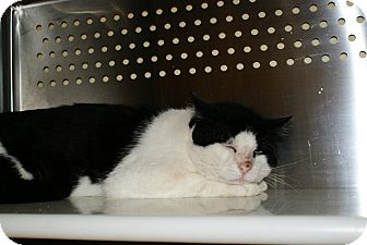 Domestic Shorthair Cat for adoption in Yuba City, California - 6/9 Mike - Unknwn Age