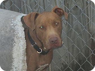 American Pit Bull Terrier Dog for adoption in Wylie, Texas - Kovu