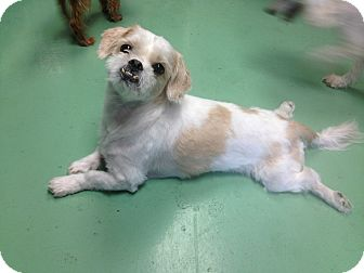 Shih Tzu Mix Dog for adoption in New York, New York - Russell