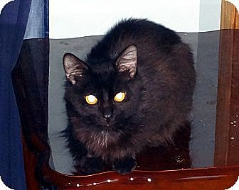 Domestic Mediumhair Cat for adoption in Saint Albans, West Virginia - Ceaser