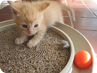 Domestic Mediumhair Kitten for adoption in Fallon, Nevada - Bubba