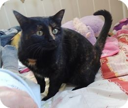 Domestic Shorthair Cat for adoption in Rochester, Minnesota - Maggie