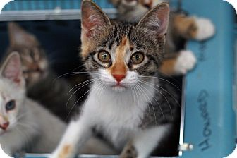 Domestic Shorthair Kitten for adoption in St. Louis, Missouri - Stellar