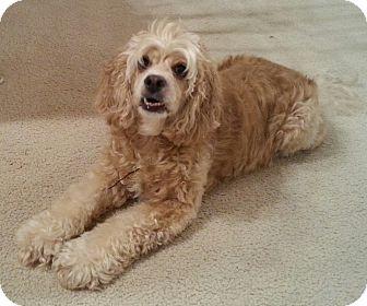 Cocker Spaniel Dog for adoption in Orlando, Florida - Daisy