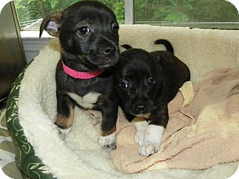 Terrier (Unknown Type, Small) Mix Puppy for adoption in Waldorf, Maryland - Mindy