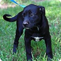 Adopt A Pet :: Jazzy - Staunton, VA