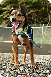 Jack Russell Terrier Mix Dog for adoption in Bellingham, Washington - Dobby