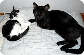 Domestic Mediumhair Kitten for adoption in Chandler, Arizona - Mistletoe