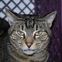 Domestic Shorthair Cat for adoption in Pottsville, Pennsylvania - Pretty girl