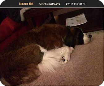 St. Bernard Dog for adoption in Pittsburgh, Pennsylvania - Molly