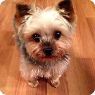 Yorkie, Yorkshire Terrier Dog for adoption in Bettendorf, Iowa - Lucy