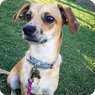 Terrier (Unknown Type, Small)/Beagle Mix Dog for adoption in San Diego, California - Nancy