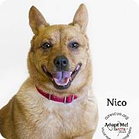 Adopt A Pet :: Nico - Phoenix, AZ