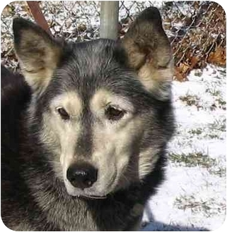Husky Mix Dog for adoption in Various Locations, Indiana - Angel