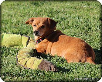 Dachshund Dog for adoption in Greenville, South Carolina - Oscar