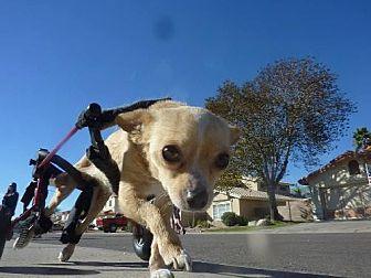 Chihuahua Mix Dog for adoption in Phoenix, Arizona - Paris