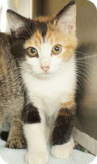 Domestic Shorthair Kitten for adoption in Lexington, North Carolina - Jenny