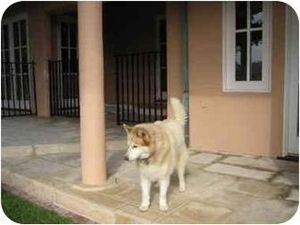 Siberian Husky Dog for adoption in Southern California, California - KD