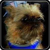 Adopt A Pet :: SHEBA  - ADOPTION PENDING - Seymour, MO