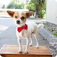 Adopt A Pet :: Perci - Shawnee Mission, KS