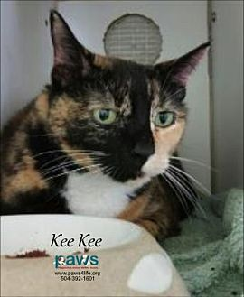 Domestic Shorthair/Domestic Shorthair Mix Cat for adoption in Belle Chasse, Louisiana - Kee Kee