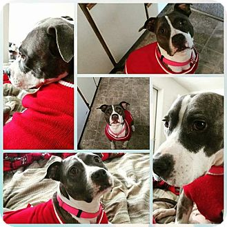 American Pit Bull Terrier Mix Dog for adoption in Sacramento, California - Jane, sweetie girl