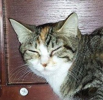Domestic Shorthair Cat for adoption in Putnam, Connecticut - Daphne