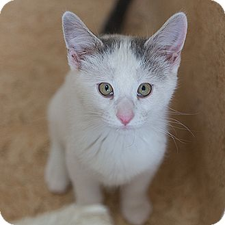 Domestic Shorthair Kitten for adoption in Kanab, Utah - Gambit