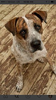 Boxer/Australian Cattle Dog Mix Dog for adoption in San Antonio, Texas - Buster